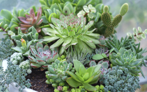 Succulents: A Great Solution For Your Drought Tolerant Landscape