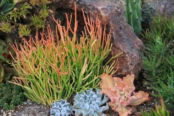 Euphorbia tiruralli
