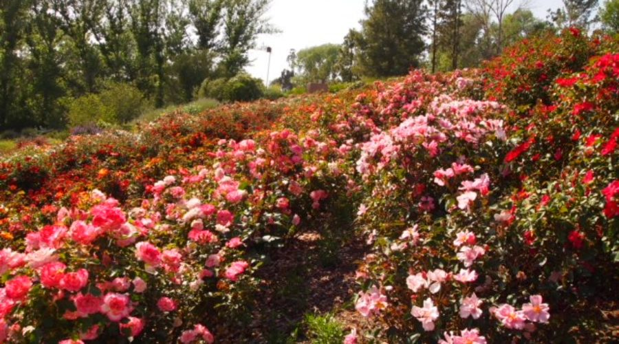 What Blooms Year-Round and Adds Waterwise Color to Your Landscape?