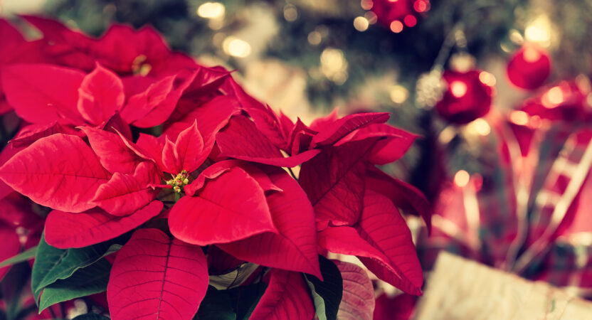 FEATURED PLANT: All About the Poinsettia